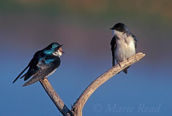 Tree Swallows (Tachycineta bicolor), pair, male (L) vocalizing to female (R), New York, USA<br /> Slide # B114-241
