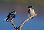 Tree Swallows (Tachycineta bicolor), pair, male (L) vocalizing to female (R), New York, USA<br /> Slide # B114-241