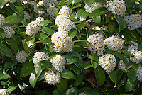 Skimmia japonica 'Fragrans' aka Skimmia laureola 'Fragrant Cloud' in bloom in April spring