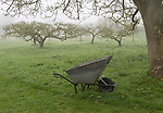Foggy morning apple orchard in meadow with metal wheelbarrow in garden, Cherhill, Wiltshire, England, UK