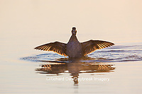 00715-08712 Wood Duck (Aix sponsa) male flapping wings in wetland at sunrise, Marion County, IL