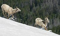 I used to enjoy being the first person up at the top of Mt. Washburn so we could see the bighorn sheep up there.