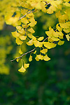 Artistic closeup of beautiful, fan shaped Ginkgo biloba yellow tree leaves in Japanese garden. Gingko tree is a living fossil. Osaka, Japan.