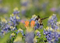Black-chinned Hummingbird (Archilochus alexandri), adult male feeding on blooming Prairie Paintbrush (Castilleja purpurea var. lindheimeri) among Texas Bluebonnet (Lupinus texensis), Hill Country, Texas, USA