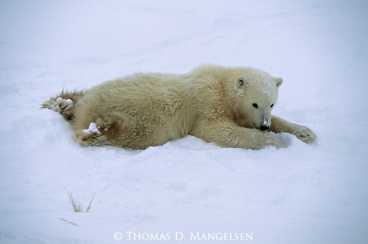 A polar bear cub lays in the snow in Canada.