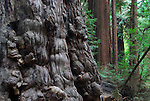 Old growth redwood at Henry Cowell Redwoods SP in Felton