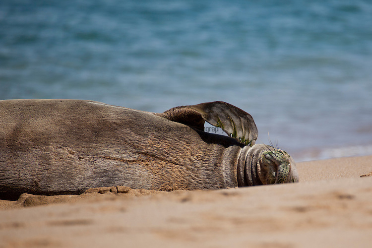 "Monk Seal resting on the sand at Ka'anapali Beach, Maui. The Hawaiian monk seal, Monachus schauinslandi, is an endangered earless seal that is endemic to the Hawaiian Islands. Known to the native Hawaiians as ?Ilio-holo-i-ka-uaua, or ""dog that runs in rough water."" Its common name comes from the short hairs on its head resembling a monk.Coincidentally, they also act like monks in that they are solitary animals. The Hawaiian monk seal is one of only two remaining monk seal species; the other is the Mediterranean monk seal. The Hawaiian monk seal is the only seal native to Hawaii."