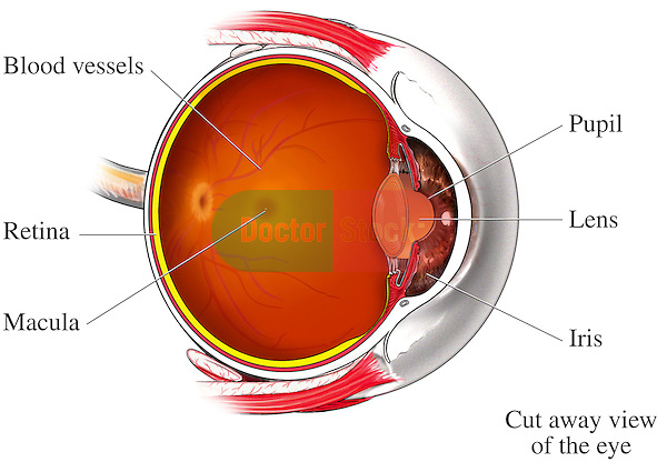 Retina - Macular Degeneration Disease. Shows the primary anatomy of the right eye shown from a lateral para-sagittal view (cut-section viewed from the side). This single image features a view from optic nerve through the outer and inner layers of the eye to the lens, iris and cornea. Labels identify the blood vessels, retina, macula, pupil, lens, and iris.