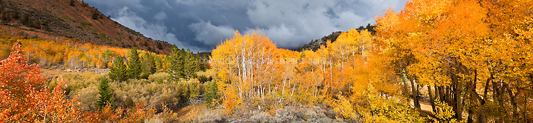 Aspen (Populus tremuloides), also Quaking, Trembling or American Aspen. Native to northern and western North America. Eastern Sierra Nevada Mountains near Bishop, Inyo National Forest, Inyo County, CA.