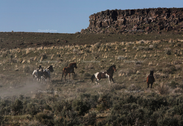 Paint-colored stallion stands guard in South Steens.  This wild horse herd located south of Frenchglen in the high desert country with extremely rocky surfaces divided by deep canyons, rim rocks and plateaus. There are around 200 horses--pintos, sorresl, bays, palominos, brown, black, red roan and dun colored.