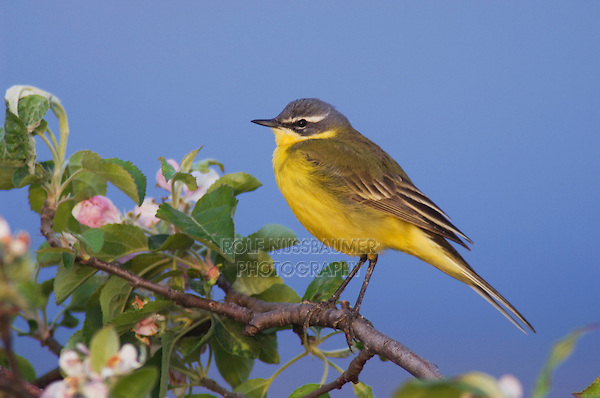 Yellow Wagtail, Motacilla flava, male on apple tree, National Park Lake Neusiedl, Burgenland, Austria, Europe