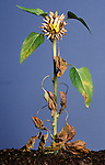 Sunflowers, Helianthus annuus, flower head and leaves dying wilting, sequence, garden plant, annual.United Kingdom....