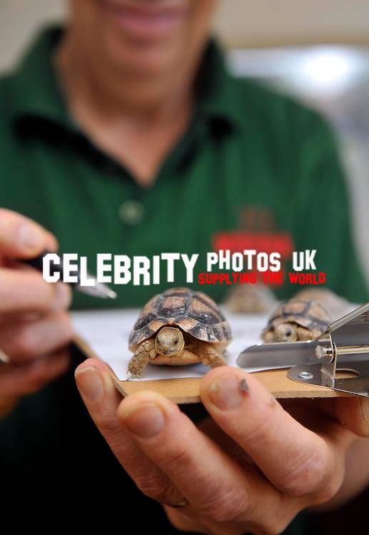 egyption tortoise, keepers at Whipsnade Zoo do  their annual stocktake oon January 8, 2013 in Dunstable, England.Picture By: Brian Jordan / Retna Pictures.. ..-..