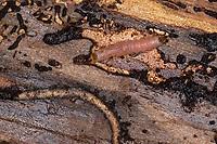 Ameisenbuntkäfer, Ameisenbunt-Käfer, Larve unter der Rinde einer Fichte, Gemeiner Ameisenbuntkäfer, Borkenkäferfresser, Ameisenartiger Buntkäfer, Thanasimus formicarius, Ant beetle, larva, larvae, European Red-bellied Clerid, le clairon formicaire, Buntkäfer, Cleridae, clerids