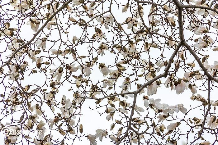 Magnolias blooming in the Arnold Arboretum, Boston, Massachusetts, USA
