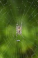 Garden Spider - Araneus diadematus