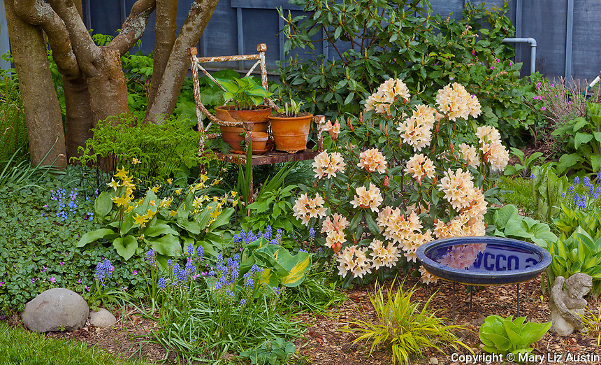 Vashon-Maury Island, WA<br /> Spring garden bed with blooming rhododendron, grape hyacinth, hostas, and Japanese forest grass