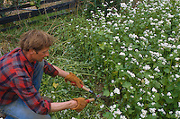 Gardener cutting down buckwheat cover crop with pruning shears before turning into soil as green manure