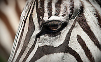 A Grant's Zebra hangs out at Fossil Rim Wildlife Center in Glen Rose, Texas, April 25, 2010. Fossil Rim Wildlife Center Park offers 1,700 acres with 1,100 animals which roam freely in large pastures. ..PHOTOS/ MATT NAGER