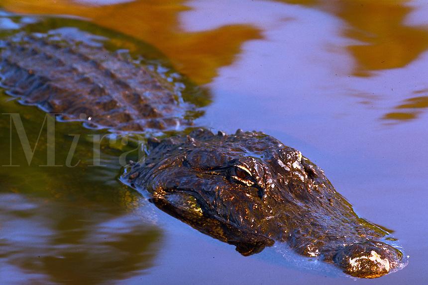 Close-up of american alligator head, eyes,submerged in water. Orlando Florida.