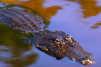Close-up of american alligator head, eyes,submerged in water. Orlando Florida.