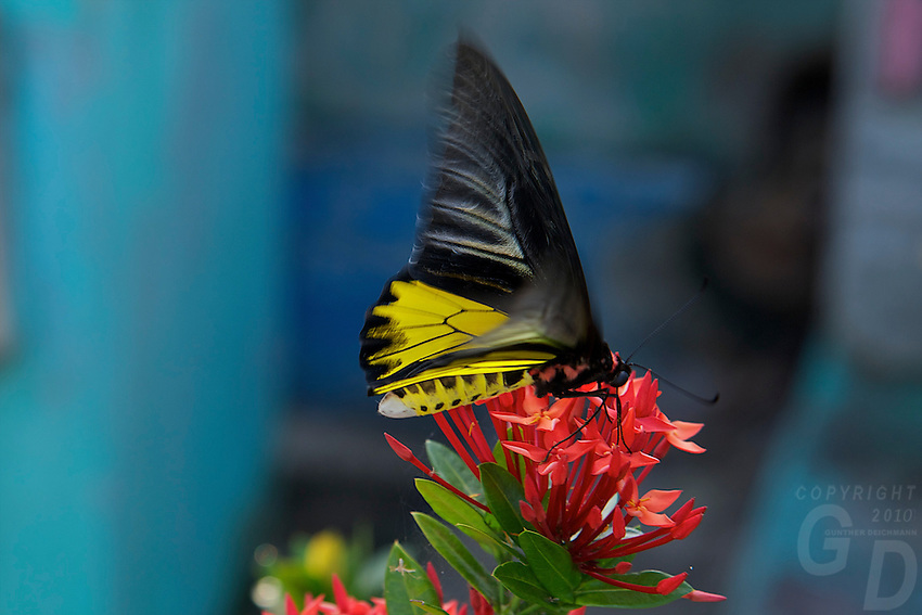 Colorful Butterfly at Phnom Ek Battambang, Cambodia