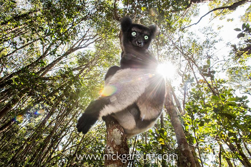 Male Indri (Indri indri) in forest understorey. Mitsinjo Reserve, Andasibe-Mantadia National Park, eastern Madagascar. Endangered.