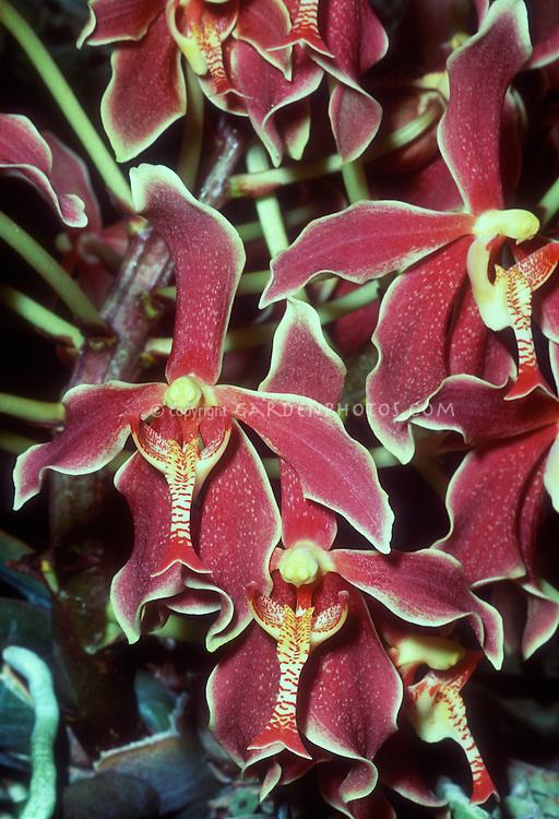 Paraphalaenopsis Asean, orchid hybrid (Boediardjo x denevei). The genus is endemic to Borneo.