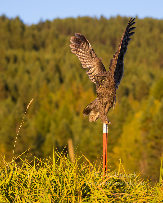A Juvenile Great Gray prepares to launch into flight after hearing prey in the grass below.
