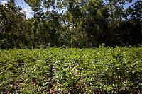 A coca plot in the Chipiriri vicinity, Chapare region, Bolivia. November 30, 2019.<br /> Une parcelle de coca dans les environs de Chipiriri, région du Chapare, Bolivie. 30 novembre 2019.