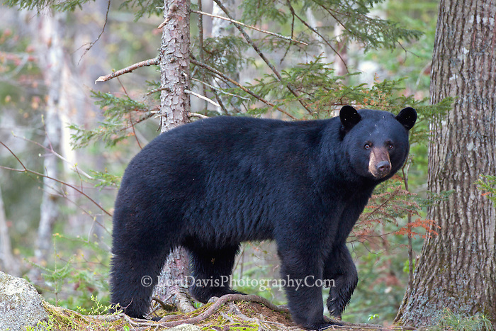 Maine Black Bear #@50