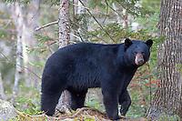 Maine Black Bear #@50
