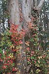 Poison oak on eucalyptus tree