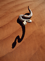 A Sidewinder snake and its shadow on a desert sand dune.