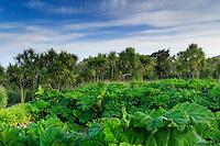 France, Manche (50), Vauville, Jardin botanique du château de Vauville, gunéras (Gunera manicata) à proximité du grand bassin et cordylines australes