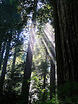 The sun's rays filter through the trees in the California Redwoods.