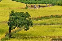 Pattern in rice fields, near Hongcun, China
