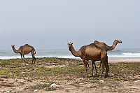 Camels graze on scrub growing on the sand along Oman's coast
