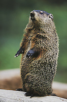 Groundhog, Woodchuck (Marmota monax), adult standing upright, Raleigh, Wake County, North Carolina, USA