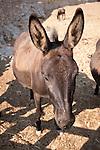 Donkey ears and head, Folegandros, Cyclades, Greece