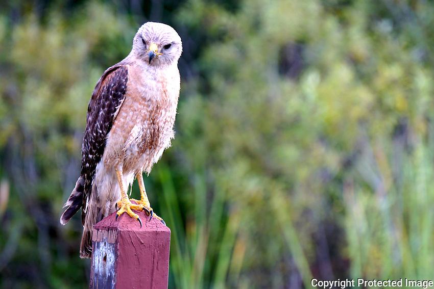 Red Shouldered Hawk photographed during early evening at Arthur Marshall Loxahatchee Wildlife Refuge, Boynton Beach, Florida