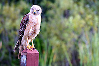 Red Shouldered Hawk photographed during early evening at Arthur Marshall Loxahatchee Wildlife Refuge, Boynton Beach, Florida