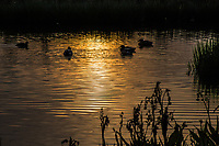 A collection of waterfowl including Mallards a cormorant, and at least one American coot paddling at sunset in the waters of the recently restored San Lorenzo Park, The Duck Pond, San Lorenzo, California.