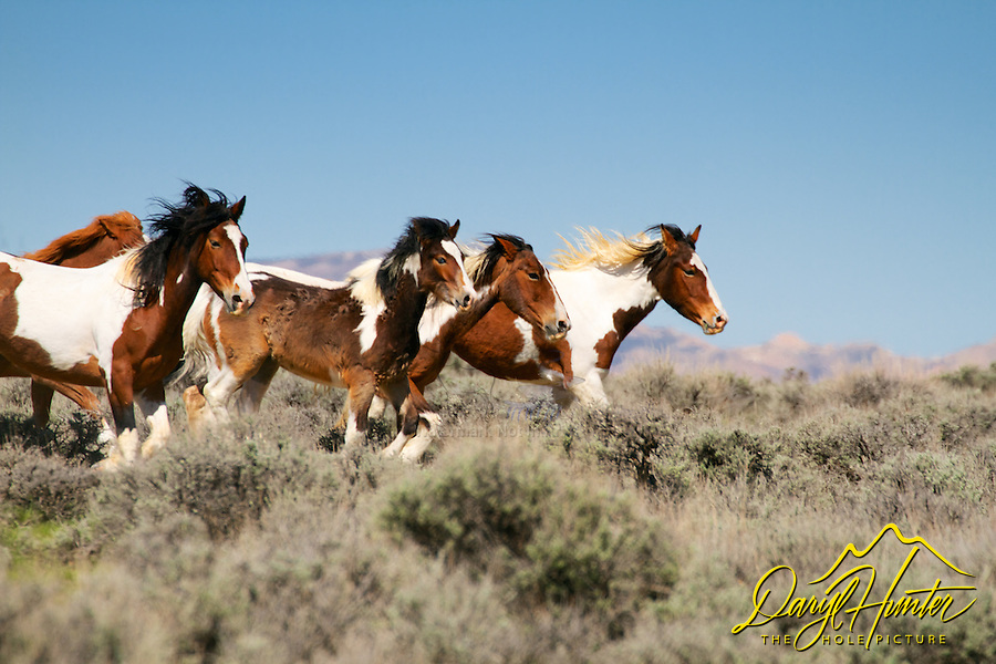 Running herd of paint mustangs at McCullough Peaks east of Cody Wyoming
