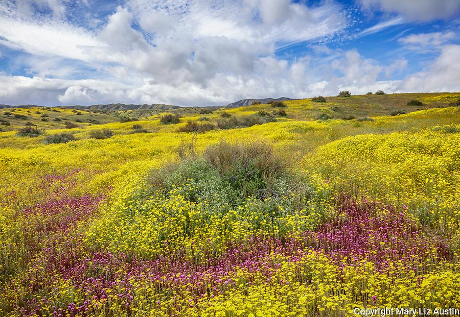 Carrizo Plain National Monument, CA: Yellow flowering monolopia and purple flowering Owl's-clover surround a Mormon Tea Bush