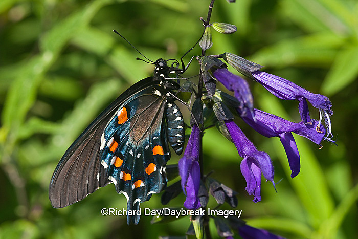 03004-01203 Pipevine Swallowtail Butterfly (Battus philenor) male on Black & Blue Salvia (Salvia guaranitica) Marion Co., IL