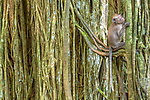 Indonesia, Bali, long-tailed macaque in banyan