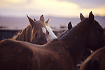 WILD HORSE ROUND-UP IN NEVADA BY BLM..WILD HORSE SANCTUARY IN SOUTH DAKOTA