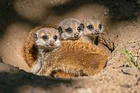 Meerkats (Suricata suricatta), young animals looking from burrow, Germany, Europe