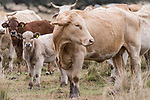 Brazoria County, Damon, Texas; a newborn calf, only a few days old, standing amongst the herd in the pasture